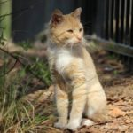 An orange and white cat is sitting in the dirt Description automatically generated